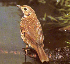 Juvenile Song Thrush<br />Hoo