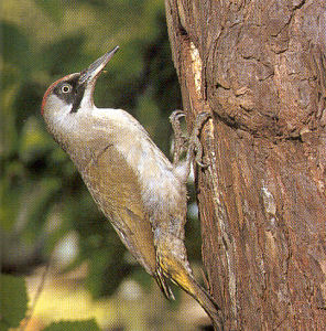 Adult Female Green Woodpecker<br />Kingerby