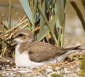 Female Snowy Plover