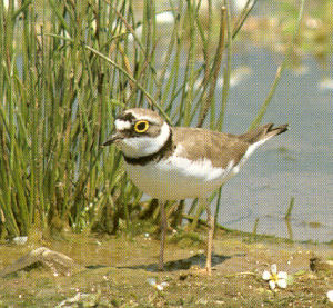 Female Adult Little Ringed Plover