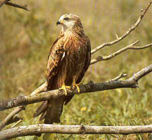 Juvenile Red Kite