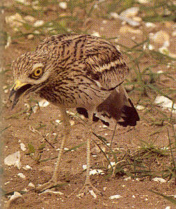 Female Stone Curlew