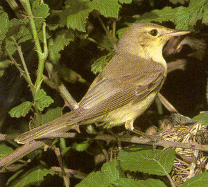 Adult Melodious Warbler