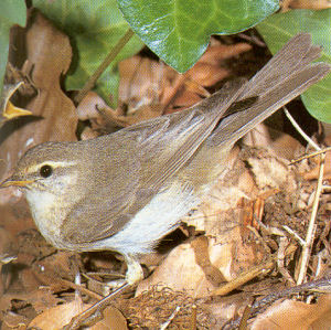 Adult Willow Warbler