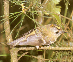 Male Goldcrest<br />Liverpool