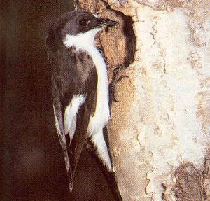 Male Adult European Pied Flycatcher