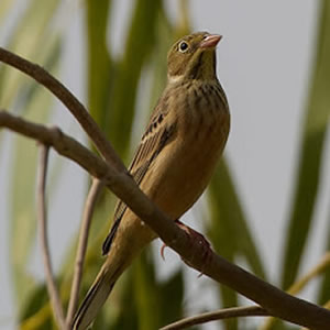 Female Ortolan Bunting