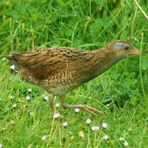 Female Corncrake