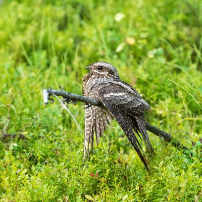 Female Eurasian Nightjar