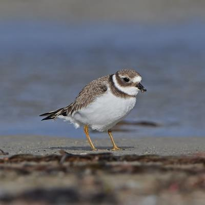 Juvenile Common Ringed Plover