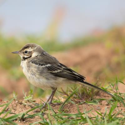 Juvenile Blue-headed Wagtail