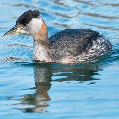Juvenile Red-necked Grebe